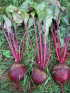 Beets, Early Wonder Tall Top