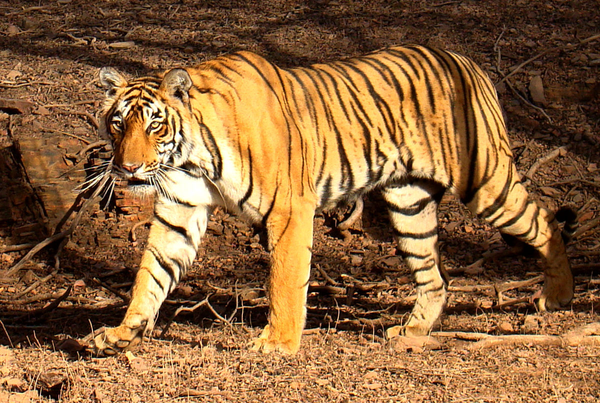 Headline for Best Parks in India for Tiger sighting