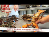 How to put a lobster to sleep