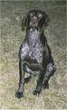 2. German Short-haired Pointer: