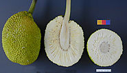 Ceylon Breadfruit