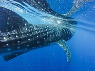 Whale sharks are the largest fish in the world
