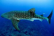 Female whale sharks produce eggs