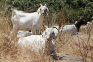 Goats are latest attraction at San Francisco airport - Overhead Bin