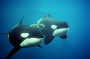 "When Killer Whales Kill: Why the movie ""Blackfish"" Should Sink Captive Whale Programs"