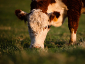 How To Make Sure Your Grass-Fed Beef Is In Fact Grass-Fed | Healthy Eating