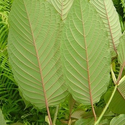 Red Vein Thai Kratom Review, Effects and Dosages