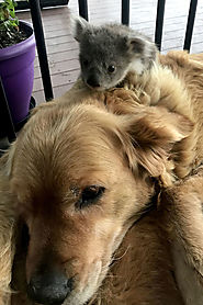 Golden Retriever saves a Koala's life; shocks the owner · Love Your Pet