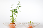Grow CarrotsTop Greens From Carrots - Sprouting Carrot Tops With Kids