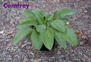 Is Comfrey safe? - Herbalism Forum - GardenWeb