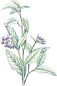Comfrey: Herbal Remedies