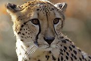 Asiatic Cheetah facts