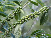 Green coffee bean extract diet: Fat burner or lame buzz?
