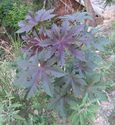 Castor plant from my trip to Austin Ayurveda.