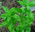 Herbs by the Ounce: Basil