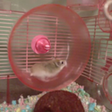 HAMSTER EXERCISE WHEEL FAIL (VINE BY Jazlyn Massaro)