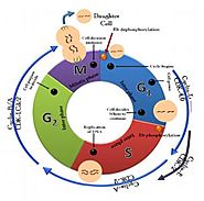 Cell Cycle Assays