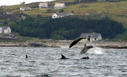 Bottlenose dolphins in Arranmore of the Donegal Coast