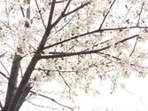Cherry Blossom in Seoul National University