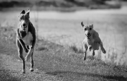 Hound Dogs Running
