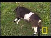Those Fainting Goats on Youtube