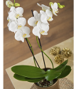 Christmas Plants By Post | Christmas Orchid Plant By Post | Bunches.co.uk