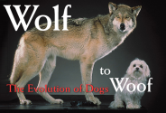 Wolf to Woof: The Evolution of Dogs
