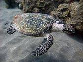 Hawksbill sea turtle - Wikipedia, the free encyclopedia