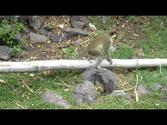 Vervet Green Back Monkeys in St Kitts & Nevis West Indies.MOV