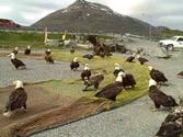 The Eagles At Work In Dutch Harbor, Alaska
