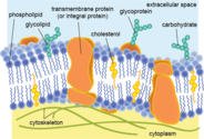 What are phospholipids and their biological functions? Tell us in brief