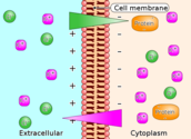 Explain in brief Donnan-membrane equilibrium and its biological significance