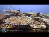 HEALTHY CORAL HOUSE REEF ALOR INDONESIA