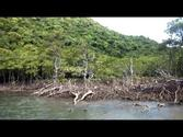 Mangrove forest on Iriomote Island (Southern Japan)