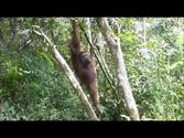 Tanjung Puting National Park - Orang Utans and more