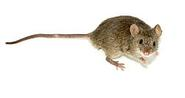 Mouse - Wikipedia, the free encyclopedia