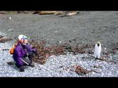 Penguins, seals and more of Macquarie Island