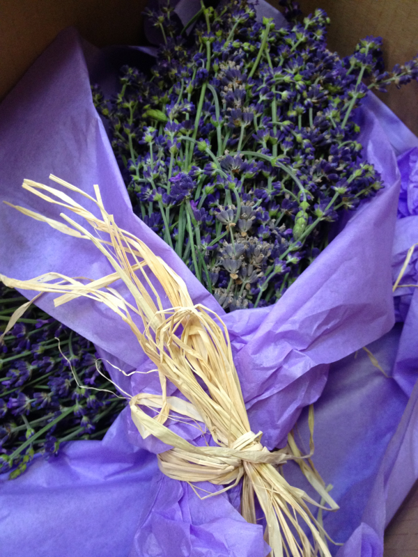 Headline for Lavender Lavandula species Resources: Growing, Using, Marketing, & More