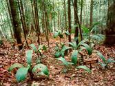 SARAWAK FORESTRY :: Sarawak National Park - National Parks and Reserves - Kubah National Park ::