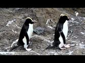 Erect-crested Penguins on Antipodes Island