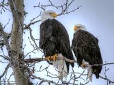 Bald Eagle Cam: Watch Decorah Eaglets Grow Up Live