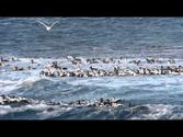 Common Eiders in surf - Vardø / Varanger / Arctic Norway