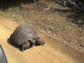 Mrs. T.: Galapagos Turtle on Pitcairn Island