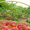 Visit Strawberry Farms