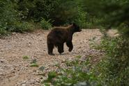Will an Electric Fence Keep Bears Out