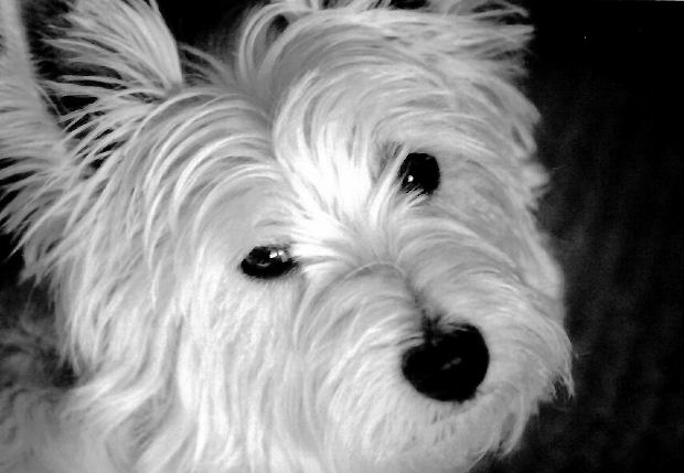 Headline for Westie Christmas Decorations: Cute Westie Christmas Ornaments