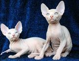 Sphynx Cat - Meet The Strangest and Rare Breed of Hairless Cats