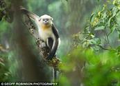 Hope for world's rarest monkeys as 20-strong colony uncovered in Vietnam