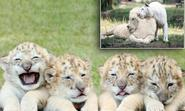 A roaring success, the world's first white ligers: Four brothers are rarest big cats on the planet